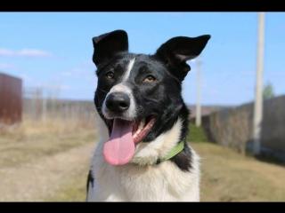 Москва! Бобин-черные ушки. Яркий, эффектный молодой пес! Ищет дом!