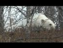 Как спасали белую медведицу. 06.10.2017