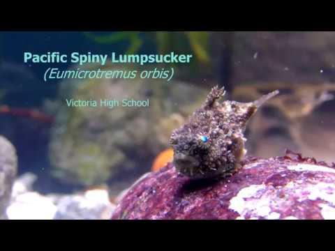 Pacific Spiny Lumpsucker Eumicrotremus orbis
