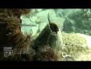 Морской жёлудь Balanus rostratus - усоногий рачок