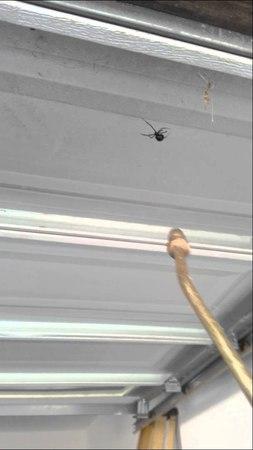 Black Widow squashing