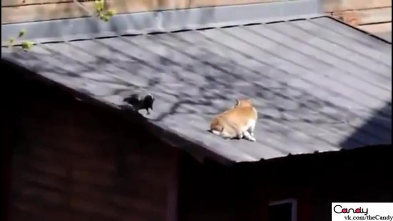 Драка котов и вороны