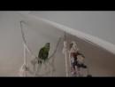 Поющий попугай Лучше нету того цвета.