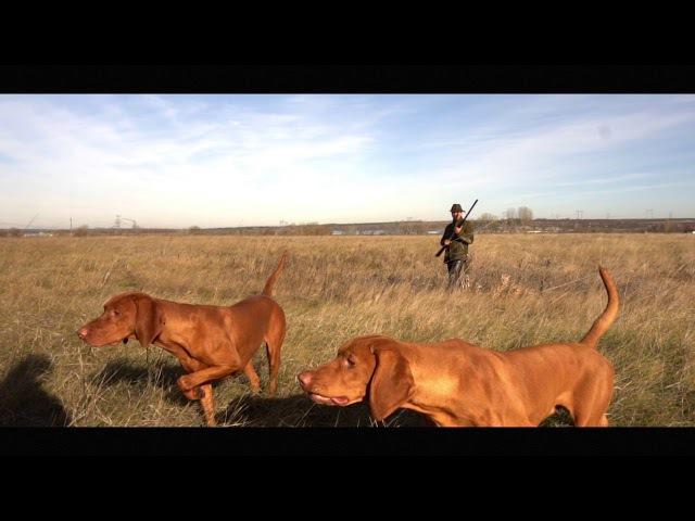 Kutyámmal vadászom Hound - Munkában a magyar vizsla