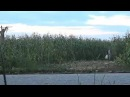 Живое пугало на кукурузном поле
