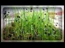 Лук из чернушки в один годе Как я выращиваю лук