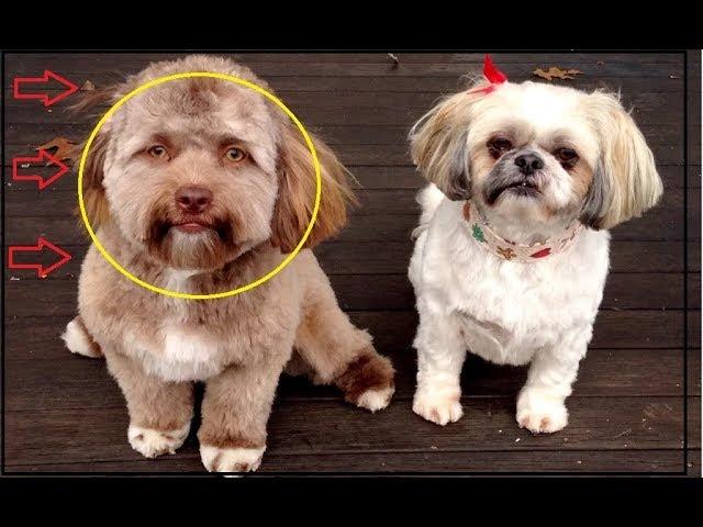 После стрижки у пса обнаружили человеческое лицо! В такое трудно поверить, но факт…