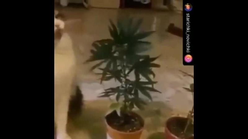 Кот наркоман - горе в семье \\ Растоман