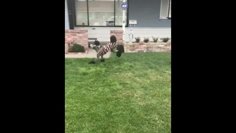 Zebra poodle