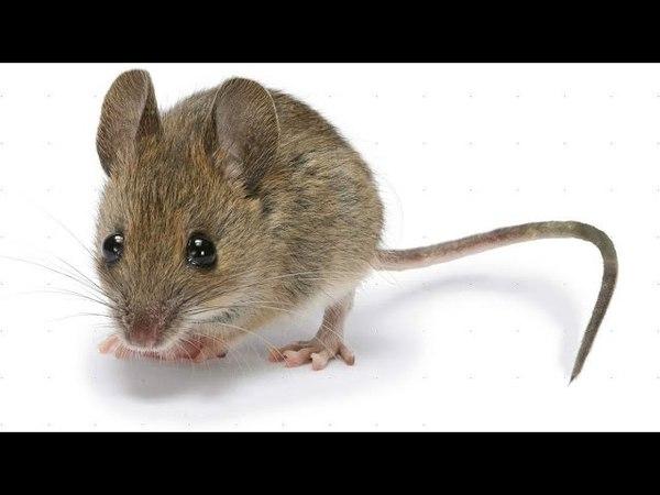 Самые лучшие мышеловки Как избавиться от мышей Ловушки для мышей