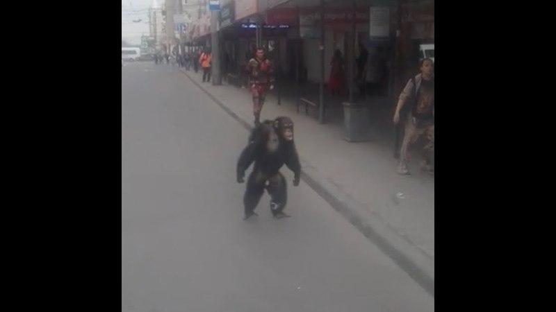 Сбежавший из цирка шимпанзе