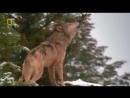 Д Ф Доисторические хищники Древний страшный сериый волк 2007г