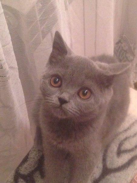 Пропала кошка 5 месяцев британка сегодня убежала убедительная просьба