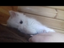 Аполон белый кот cat