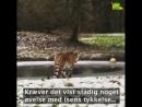 Тигрица на льду