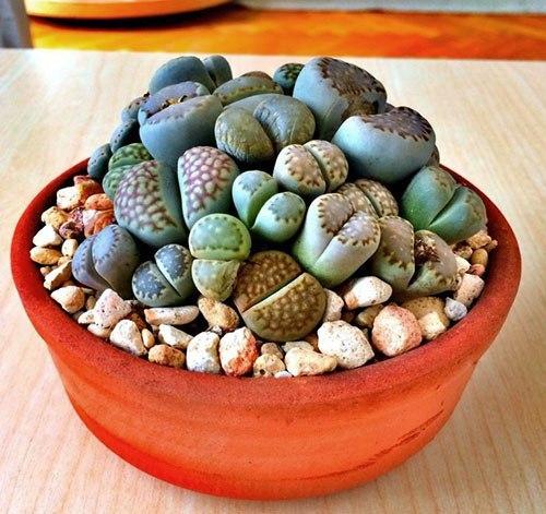 живые камни в культуре имеется множество живых камней, почти все они относятся к двум родам- литопс и конофитум, но так же встречаются фритии,плейоспилосы,лапидарии, танкваны,хотя человеку не