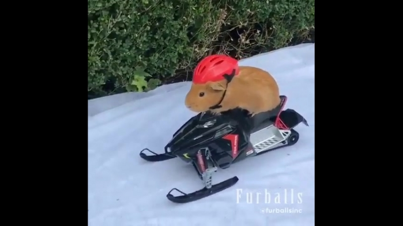 Cavy ride on snowmobile
