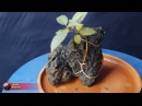 Starting of Root over Rock bonsai, Root over Dead wood bonsai, BeThe CREATOR, December 2017