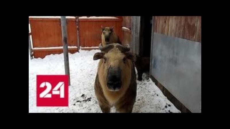 В Московском зоопарке родился детеныш сычуаньского такина - Россия 24