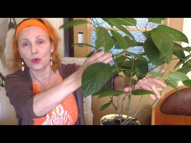 Клеродендрум госпожи Томпсон Уход обрезка формирование кроны Комнатные растения Clerodéndrum