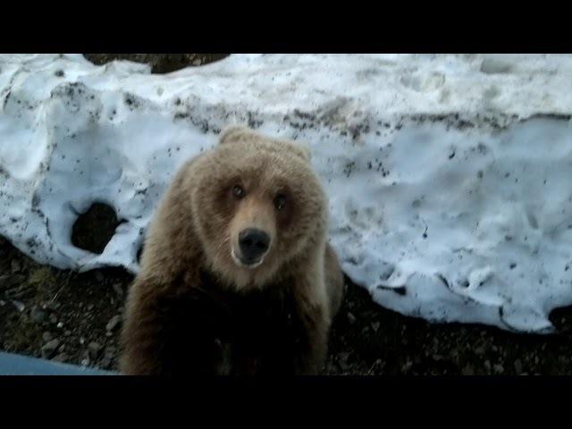 медведица пришла в гости покушать - 4.Камчатка,Россия(bear came to visit out - 4.Kamchatka, Russia)