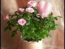 Адаптация КОМНАТНЫХ РОЗ Что делать чтобы роза не погибла в первые недели после покупки