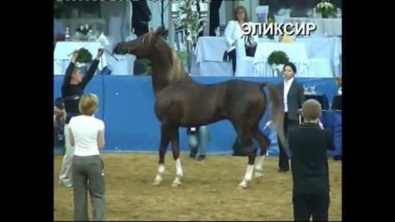 Stallion ELIKSIR 2001 arabian video 30 04 2008