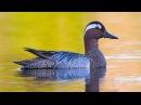 Птицы России 2 На реках и озерах Подмосковья С комментариями