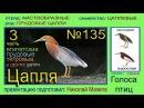 Цапля Прудовые и другие цапли Голоса птиц
