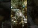 Мурлыкающие Мейн-куны. Котята пьют молоко. Purring Maine Coon kittens. Like kittens drinking milk.