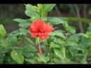 Вьетнам, Vietnam, цветы Вьетнама, экзотические цветы