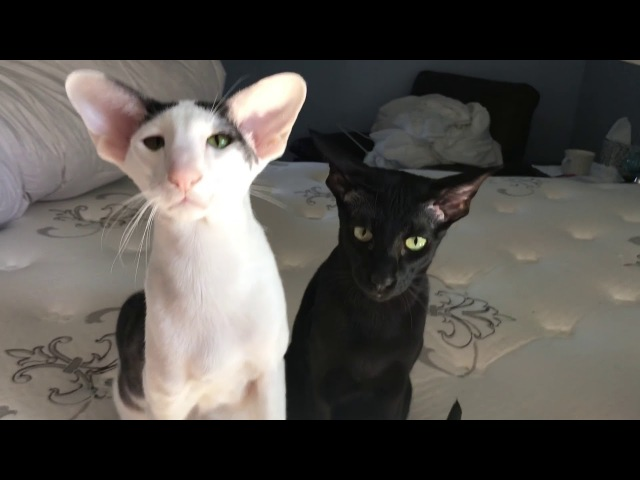 What kind of cats are they Oriental Shorthair A little different cat