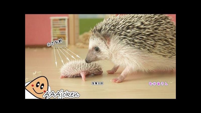 出産2日目 ハリネズミに赤ちゃんが生まれたよ!Pet movie Hedgehog baby was born