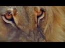 Животный мир. Царь зверей. Львинная охота. Семейный союз. Смена ролей. Большие ко ...