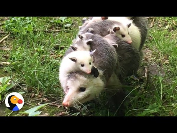 Possum Mom Carrying Babies is the Best Thing Ever | The Dodo