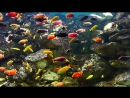 Malawi Aulonocara Firefish Seifert_Full-HD_60fps.mp4