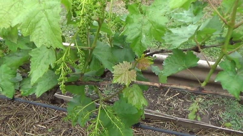 Состояние виноградника на 13 05 18г.