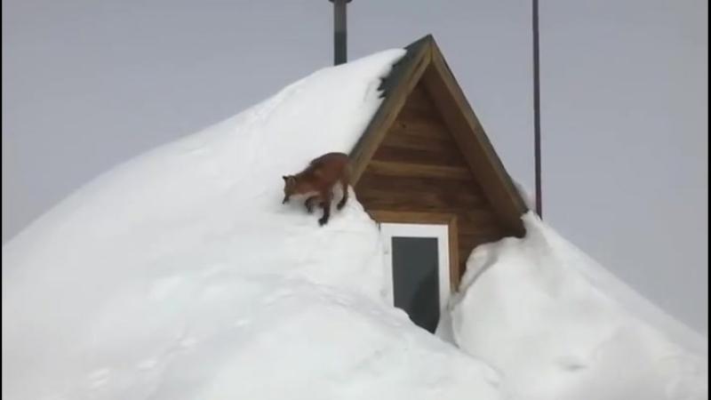 Лисица ходит по крыше в Кроноцком заповеднике на Камчатке