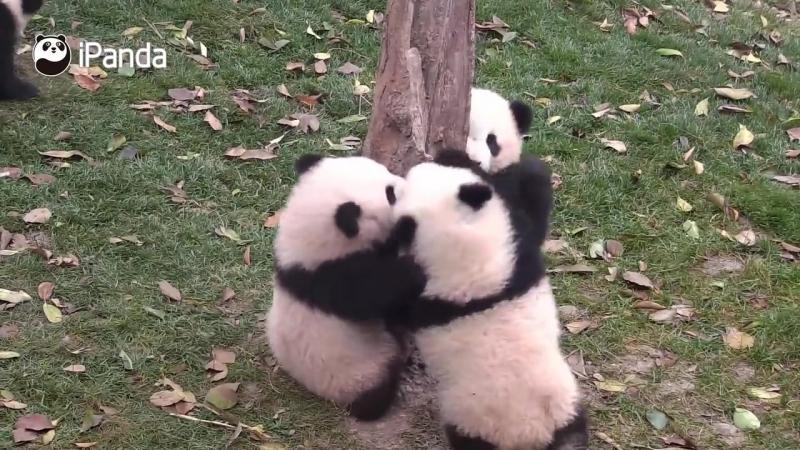 Малыши панды