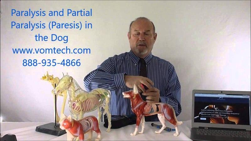 Паралич и парез у собак (мануальная, миофасциальная и лазеротерапия) Paralysis and Partial Parlysis (Paresis) in the Dog
