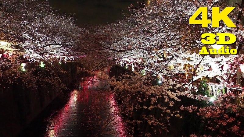 TOKYO.| 目黒川 桜.| Meguro river SAKURA 2018. [ 4K. Binaural Audio]
