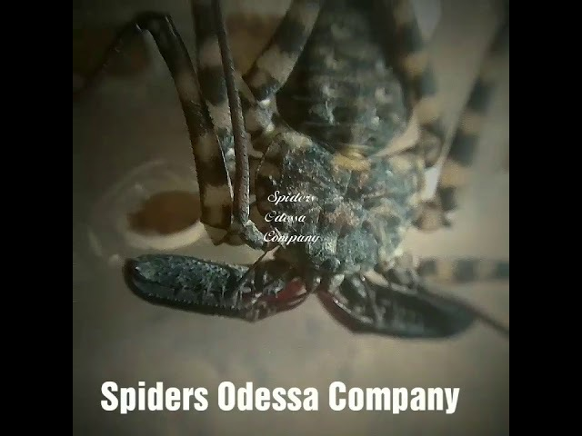 Damon diadema фрин жгутоногий паук