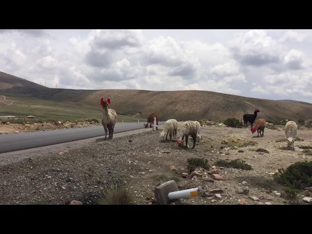 Стада Викуньи - прародители ламы и альпака