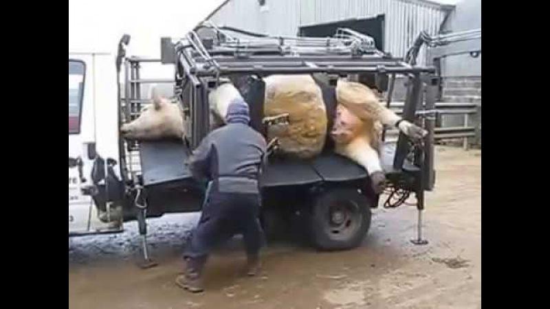 Уход за копытами у коровы в Испании / Cuidado de pezuñas en Bovinos