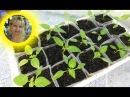 СУПЕР ИДЕЯ РАССАДА В ЗИП ПАКЕТАХ Выращивание томатов перца и других