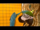 Желто-синий ара ест банан