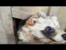 Енотовидные собачки