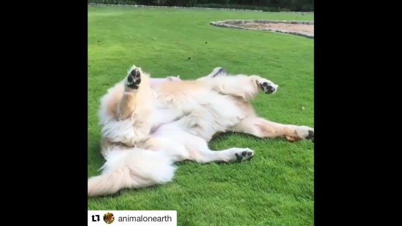 TheellenshowRepost @animalonearth ・・・ Playtime with Cloud 💞 Video by :@luna.piglet animalonearth