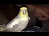 Попугай научился петь рингтон iPhone