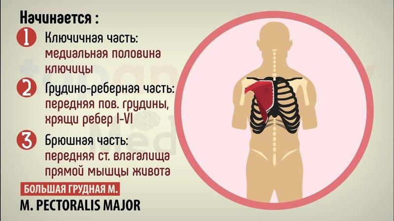 15 Мышцы груди 15 vsiws uhelb